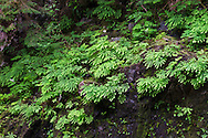 Maidenhair Ferns (Adiantum pedatum) growing on the cliffs above Dog Leg Pool at Capilano River Regional Park in North Vancouver, British Columbia, Canada.  Photographed from near the Cable Loop Trail.