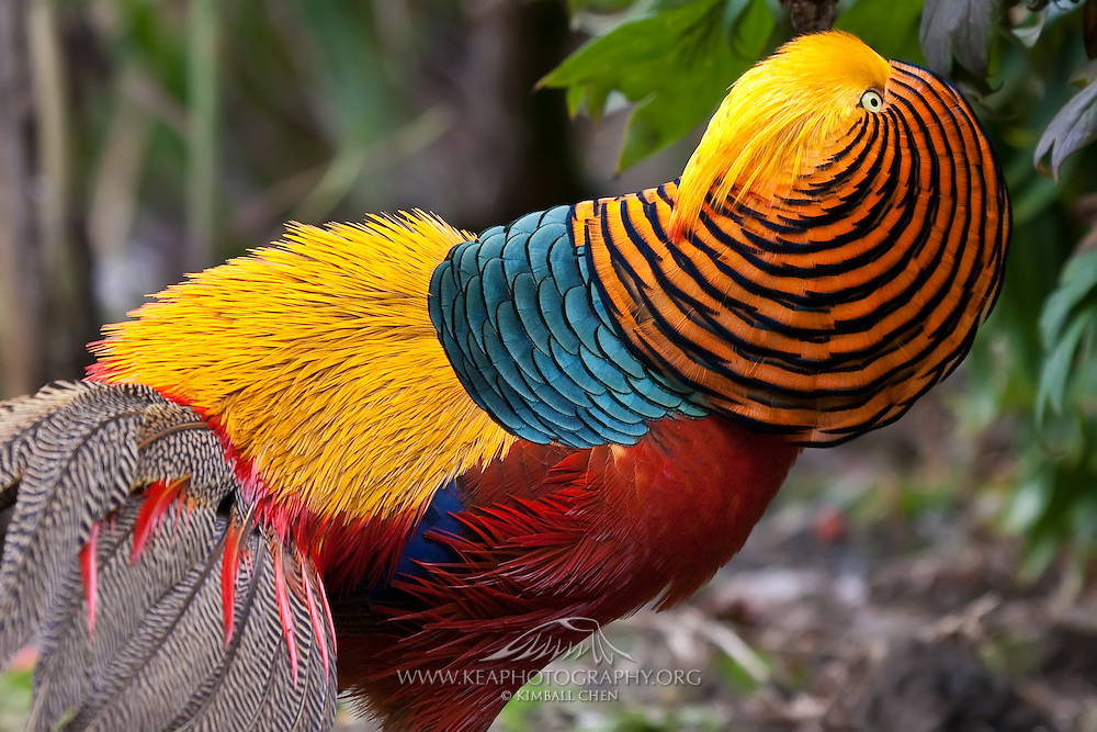 Golden Pheasant, courtship display