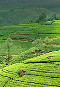 Sri Lanka. Tea estates in the Central highlands.