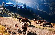 Horses graze near Trongsa Dzong in Bhutan.