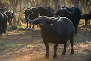 Buffalo cow (Semenya)<br /> Exotic Game Breeders / Eden Farm<br /> Limpopo Province<br /> South Africa