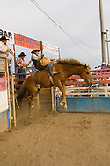 Saddle Bronc Rider at Miles City Bucking Horse Sale, Montana
