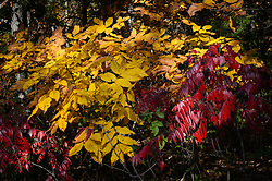 Hickory (yellow leaves) and smooth sumac (red leaves) display their fall color along Mo. Route KK near Akers, Mo.
