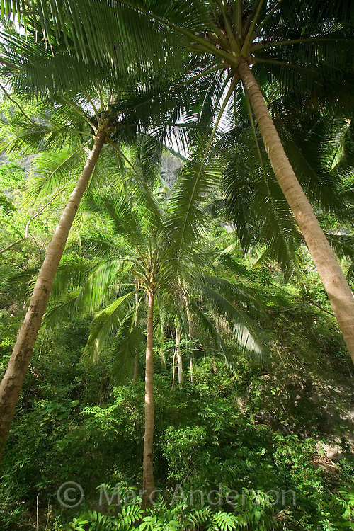 A palm forest on a secluded tropical island in the Bacuit Archipelago, El Nido, Palawan, Philippines
