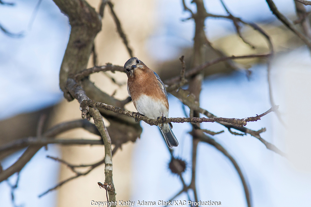 Eastern Bluebird, perched on a branch, in the winter, The Woodlands, Texas