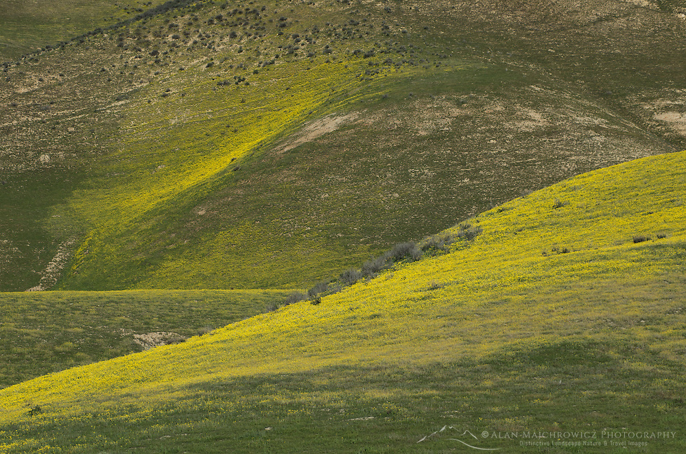 Temblor Range hills carpeted with Hillside Daisy (Monolopia sp.) Carrizo Plains National Monument