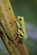 08: ECOTEACH RED-EYED TREE FROG 2