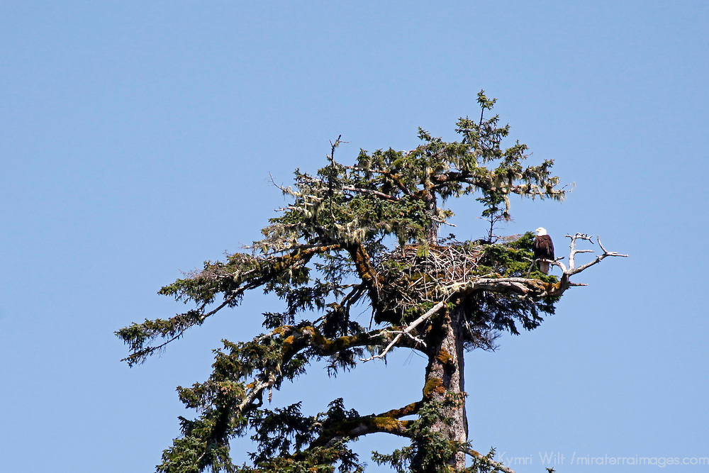 North America, USA, Alaska. American Bald Eagle nest.