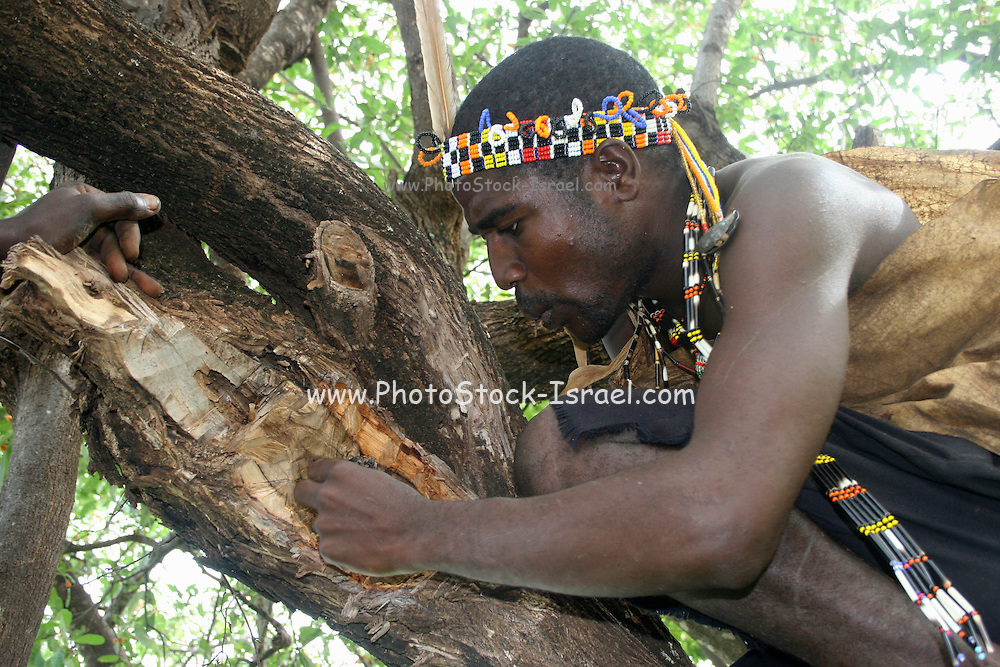 Africa, Tanzania, Lake Eyasi, Hadza men harvesting honey from the hallow in a baobab tree Small tribe of hunter gatherers AKA Hadzabe Tribe April 2006