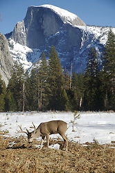 A buck eats from a field in front of half dome during a snowy winter in Yosemite National Park, California.