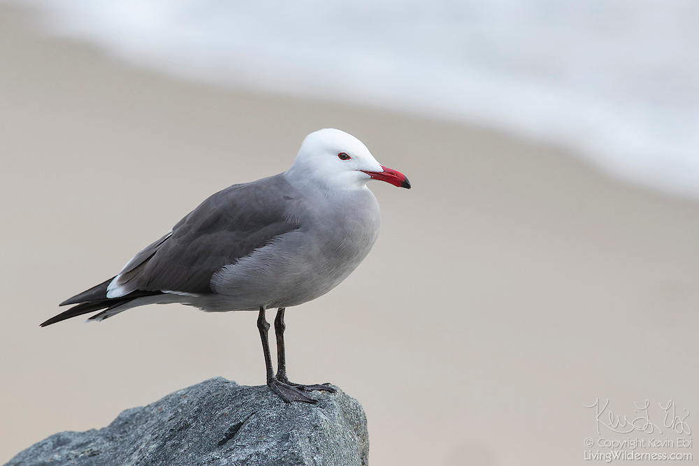 With a Pacific Ocean wave in the background, a Heermann's gull (Larus heermanni) rests on a rock overlooking Las Tunas Beach near Malibu, California. This is an adult Heermann's gull, displaying breeding plumage. Heermann's gulls are native to the west coast of North America, from southwestern British Columbia to Mexico. The gulls are usually found at the shoreline or very far out to sea; they are very rarely spotted inland. Nearly all of the Heermann's gulls nest on Isla Rasa in the Gulf of California.