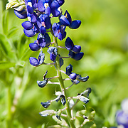 Bluebonnet with two-spotted bumble bee (bombus bimaculatus) flying around looking for pollen.