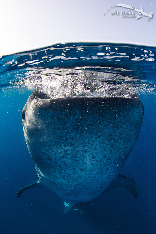 "A ""botella"" is a whale shark (Rhincodon typus) that has gone vertical at the surface, where it sits, stationary, gulping plankton and air. Shot in Isla Mujeres, Mexico."