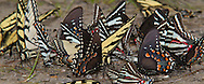 Eastern Tiger Swallowtail (Papilio glaucus), Spicebush Swallowtail (Papilio troilus), Zebra Swallowtail (Eurytides marcellus) puddling<br /> TEXAS: Jasper Co.<br /> Boykin Springs Lake at Boykin Springs Recreation Area<br /> Angelina National Forest; NW of Jasper<br /> 24.Mar.2010<br /> J.C. Abbott