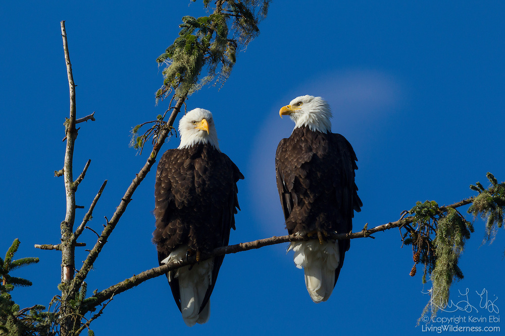 A pair of bald eagles (Haliaeetus leucocephalus) are perched in a tree near the mouth of the Columbia River, Warrenton, Oregon. The quarter moon appears behind the eagle on the right.