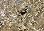 Crab in Cayos Ana Maria, Ciego de Avila, Cuba.