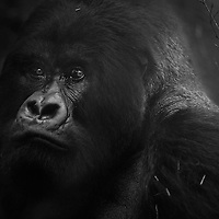 Guhonda, the world's largest mountain gorilla silverback, Volcanoes National Park, Rwanda.