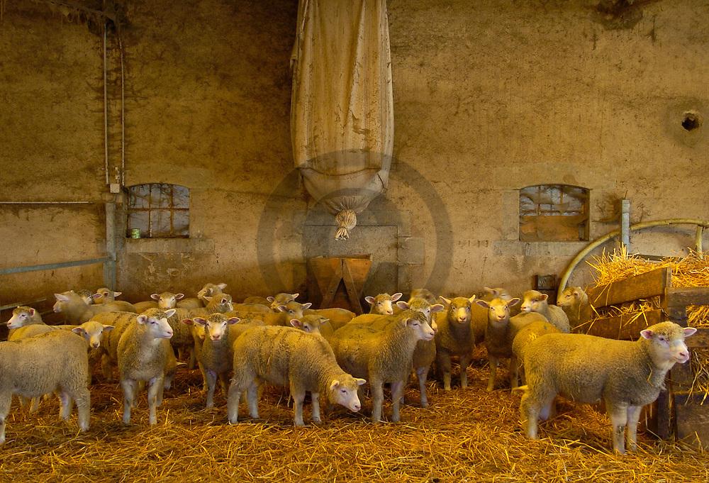 14/03/05 - MONT ET MARRE - NIEVRE - FRANCE - GAEC LARIVE. Elevage de brebis croisees Texel et Ile de France. Systeme de distribution d aliments pour l engraissement des agneaux - Photo Jerome CHABANNE