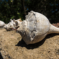 Whelk shells on a stone wall at Lopez River campsite on the Florida Everglades Wilderness Waterway.<br />