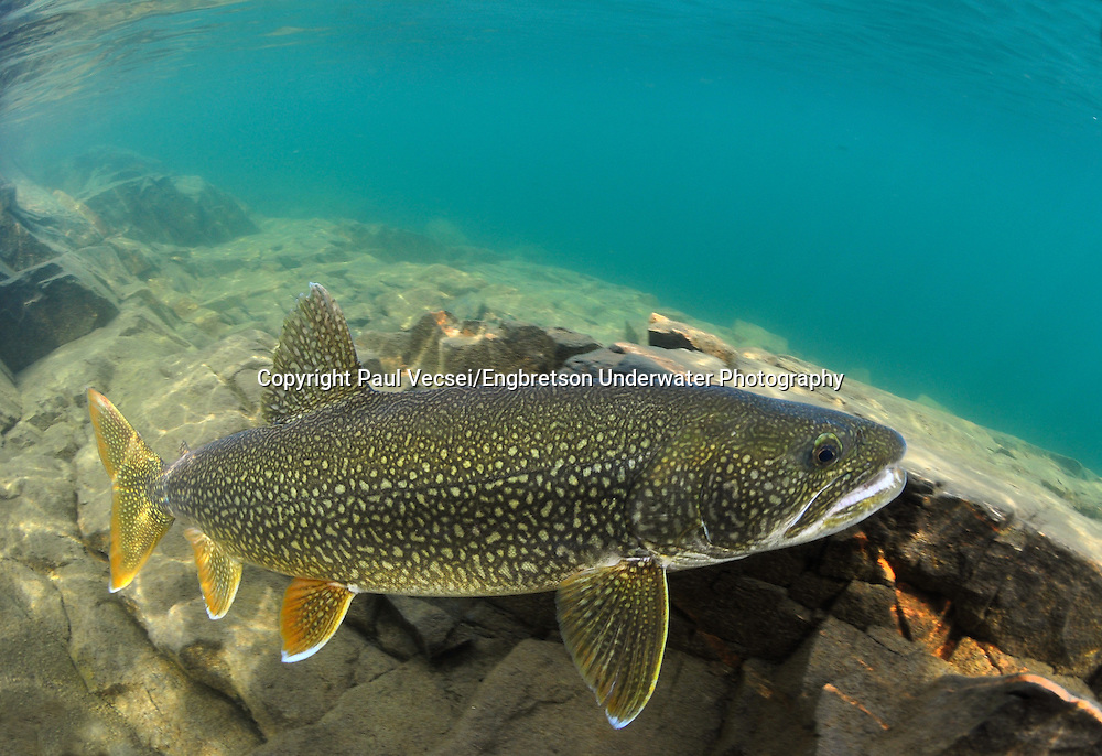 Lake Trout<br /> <br /> Paul Vecsei/Engbretson Underwater Photography