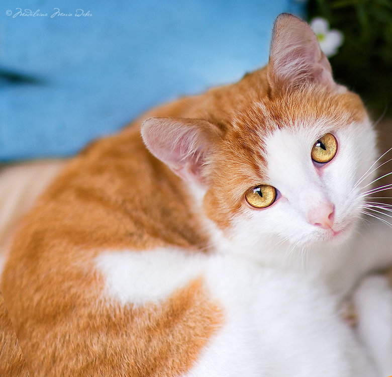 cat beautiful orange white single adult cat with golden eyes
