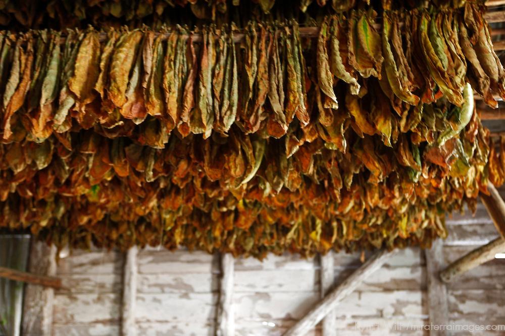 Central America, Cuba, Pinar del Rio, San Luis. Drying tobacco leaves for cigars at Finca Robaina plantation.