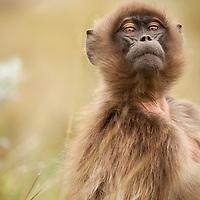 Female Gelada baboon, Theropithecus gelada, looking inquisitively on the Guassa Plateau, Ethiopia