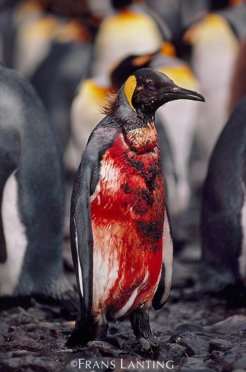 King penguin injured by sea lion, Aptenodytes patagonicus, South Georgia Island