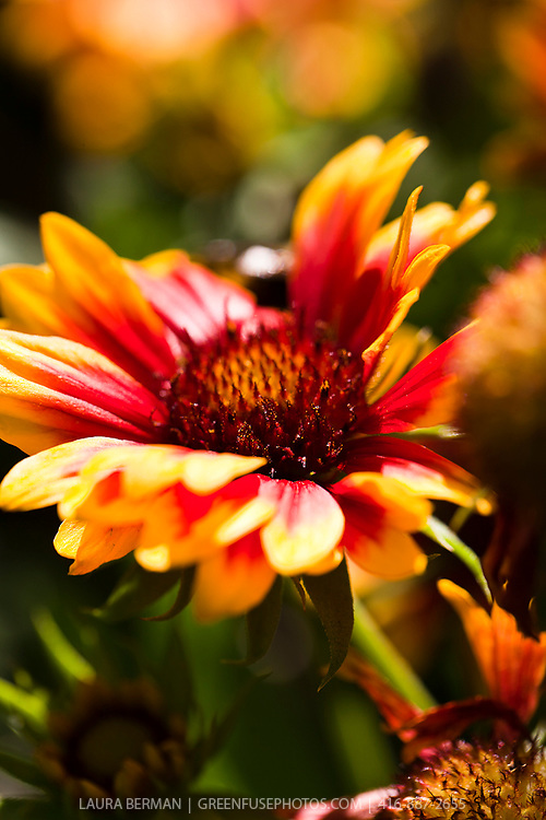 Arizona Sun Blanket Flower (Gaillardia grandiflora 'Arizona Sun').<br /> Showy three-inch single flowers that are mahogany-red with bright yellow edges.