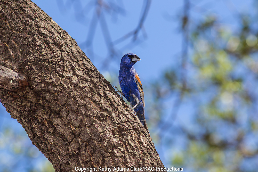 Blue grosbeak, Passerina caerulea, male, Marathon, Texas, west Texas,