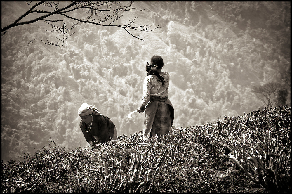 <b>Photograph by Susan Kessler:</b><br>Tea plantation women clearing brush. After the tea harvest, with only a small tool in hand, the women clear away dead leaves and brush.