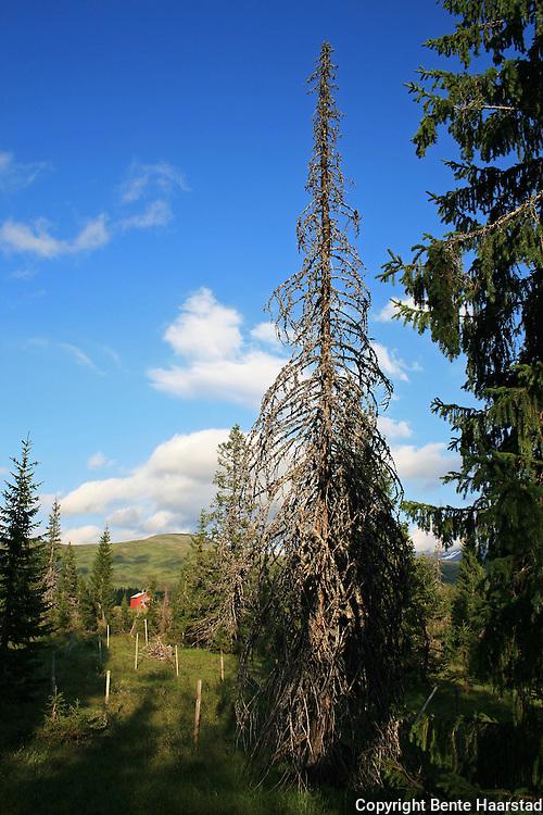 Skarvene og Roltdalen nasjonalpark. Gammel granskog ved  Stormoen i Roltdalen.  Foto: Bente Haarstad