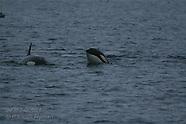 08: WINTER TOUR ORCA SPYHOPPING