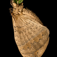 Moth at night in Sarawak Borneo