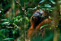 "Adult male Bornean Orangutan (known as Rocky) in ""past-prime"" condition, having lost his big cheek pads.  Gunung Palung National Park, Indonesia."