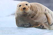 Bearded seal (Erignathus barbatus) rests on ice floe in Kongsfjorden, Svalbard.