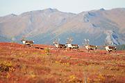Caribou in Fall foliage in Denali National Park