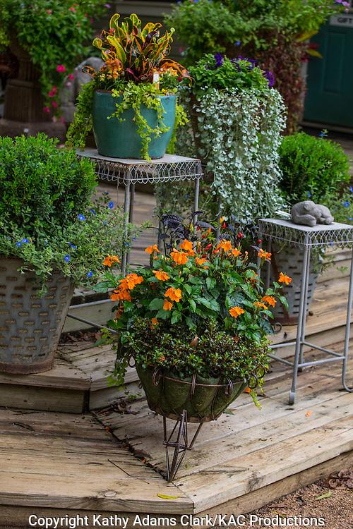 Container garden, croton, dichondra, Garden, Houston, late summer, Texas.