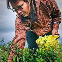 Subsistence berry picking, Kwethluk, Alaska