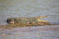 Large Mugger Crocodile (Crocodylus palustris), Yala National Park, Sri Lanka