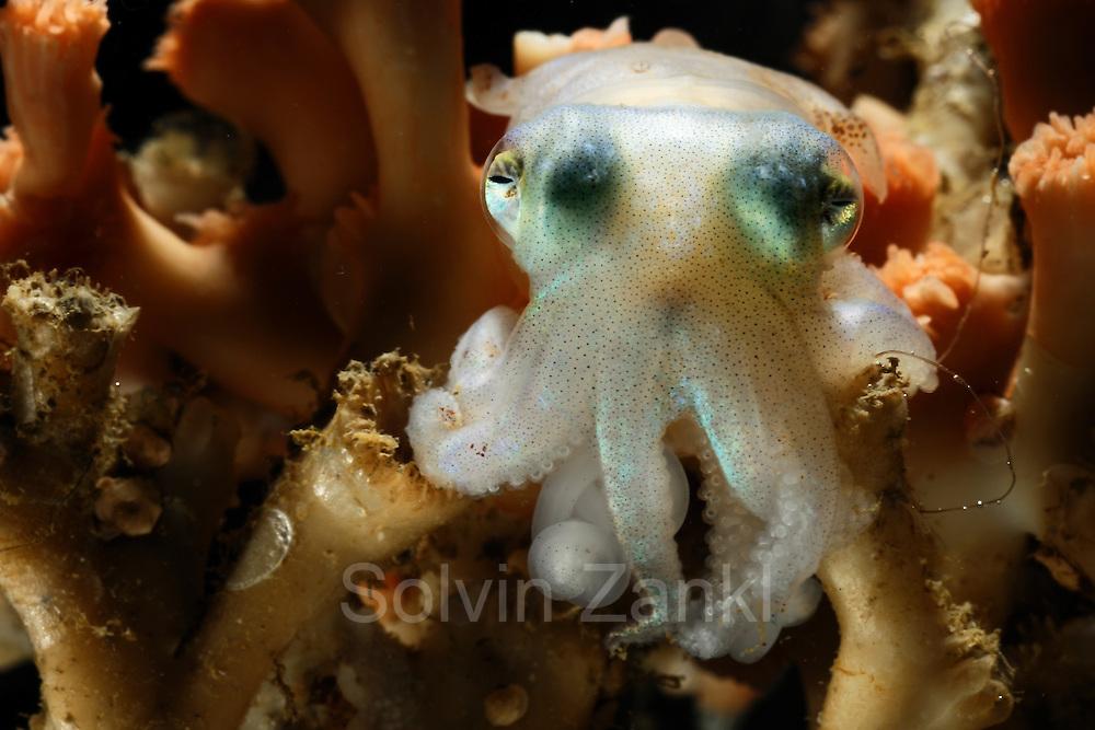 [captive] Cuttlefish (Rossia glaucopis) (Sepiida) Trondheimfjord, North Atlantic Ocean, Norway   Zwischen den Verästelungen der Kaltwasserkoralle sucht ein kleiner Tintenfisch Schutz und Halt. Trondheimfjord, Norwegen