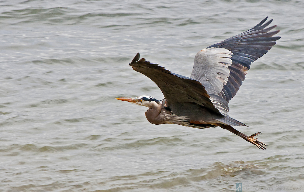 This heron flew by on a grey day, from one fishing spot to another.  A heron's complex plumage makes for an interesting study of the combination of flying efficiency and decoration.