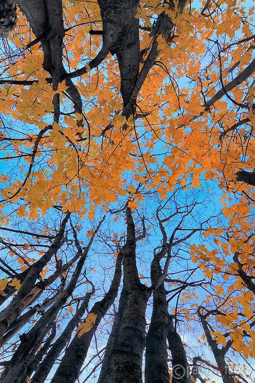 A classic view from below of a bush of maple trees protunding in the blue sky. Taken an evening of mid October in Valle Stretta, a beautiful small valley of the Western Alps in Piedmont, Italy.