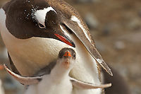 A Gentoo Penguin (Pygoscelis papua) with its young.  Jougla Point, Wieneke Island.