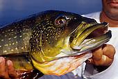 Peacock Bass Stock Photos