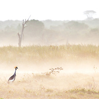 A crested crane stands out on an ethereal misty morning in Solio, Kenya