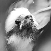 Soul Survival: Cotton-TopTamarin (Scientific name: Saguinus oedipus)<br /> Critically endangered/Species Survival Plan
