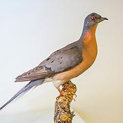 Passenger pigeon, Ectopistes migratorius, mounted specimen, Houston Museum of Natural Sciences collection.  Photographed with permission.
