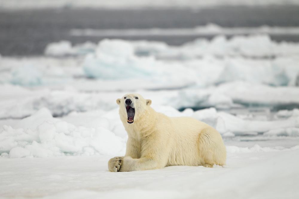 Norway, Svalbard, Nordaustlandet, Polar Bear (Ursus maritimus) yawns while resting on broken sea ice near Phippsøya (Phi's Island) on summer morning
