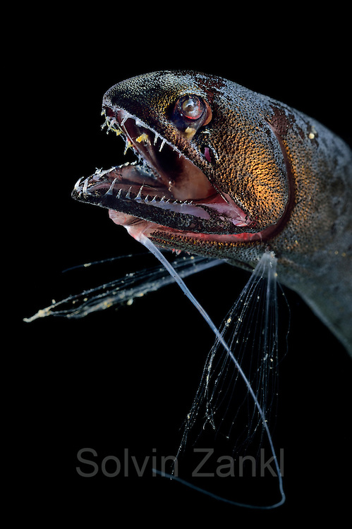 [captive] Scaleless dragonfishes (Bathophilus nigerrimus), deep sea fish, Atlantic Ocean close to Cape Verde | Schuppenlose Drachenfisch (Bathophilus nigerrimus) Giglioli, 1882; Ord. Stomiiformes, Fam. Stomiidae, Subfam. Melanostomiinae